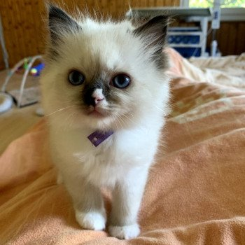 Ragdoll seal point mitted