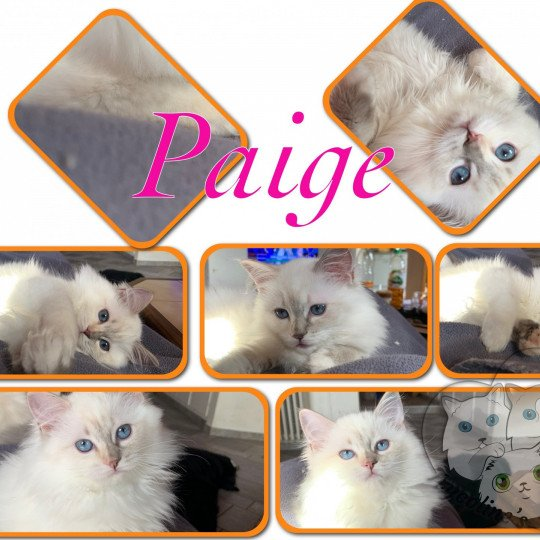 Trycoline's Paige Angely  Femelle  Ragdoll