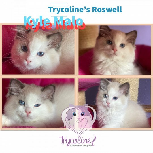 Trycoline's Roswell Kyle Malo  Mâle  Ragdoll