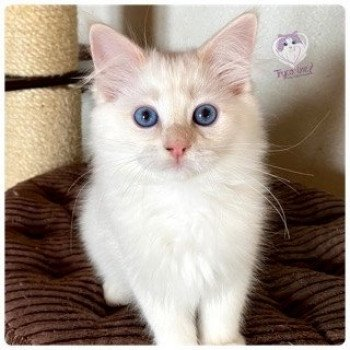 Ragdoll cream tabby point mitted