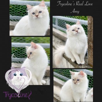 Ragdoll lilac tabby point mitted