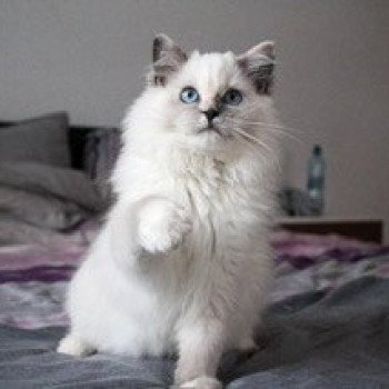 Ragdoll blue tortie point mitted