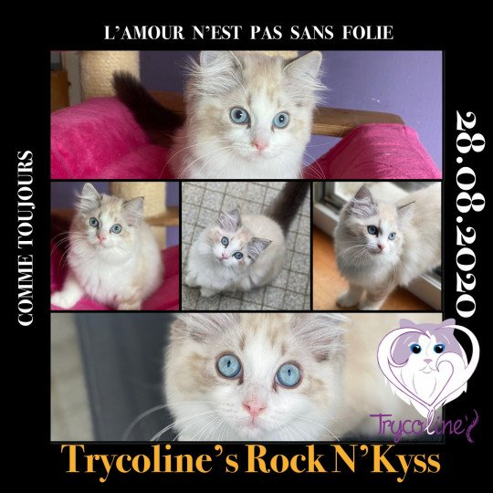 Trycoline's Rock N'Kyss  Femelle  Ragdoll