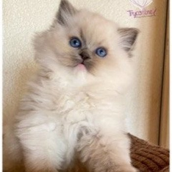 Ragdoll  point mitted
