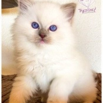 Ragdoll lilac point mitted