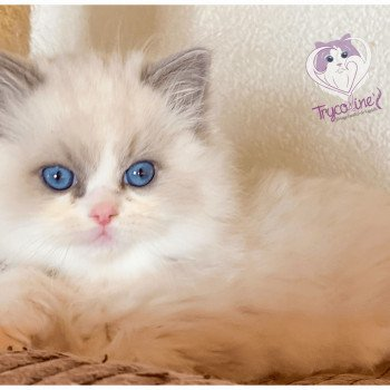 Ragdoll blue point bicolor