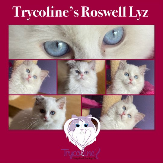 Trycoline's Roswell Lyz  Femelle  Ragdoll