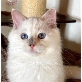 Ragdoll lilac tortie point mitted