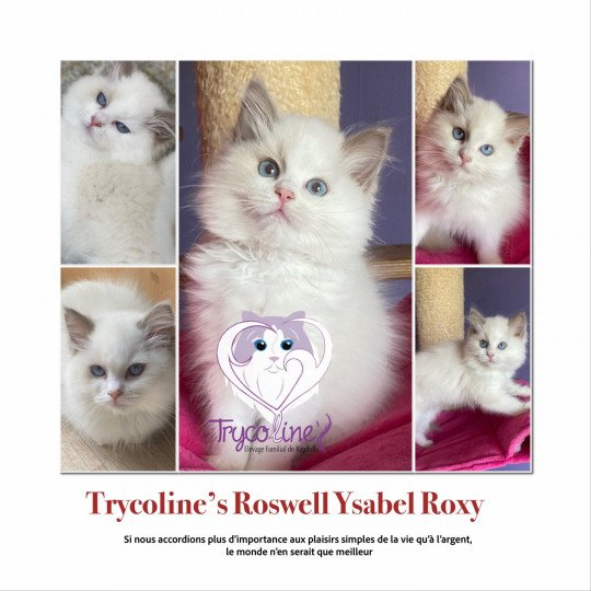 Trycoline's Roswell Ysabel Roxy  Femelle  Ragdoll